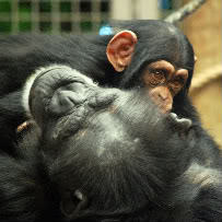 Chimps:  How very similar people look to apes when observing humans.