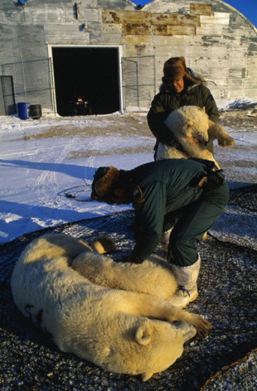 Transporting a tranquilized Polar Bear to a safe habitat so he can be free.