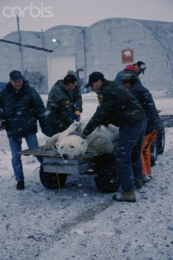 Animal Control Officers take a tranquilized Polar Bear back to a safer habitat and get it out of the town that it wandered into during a cold Winter night.