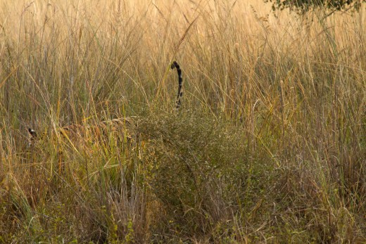 Tail up - Krishna emerging out of the tall grasses along the Rajbagh lake...