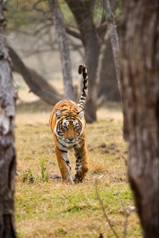 Tigress T19 - Krishna