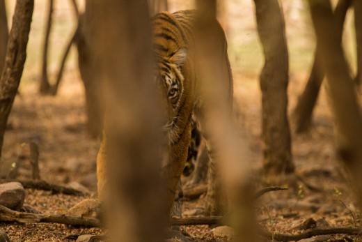 Tigress T19 - head on walking towards our vehicle