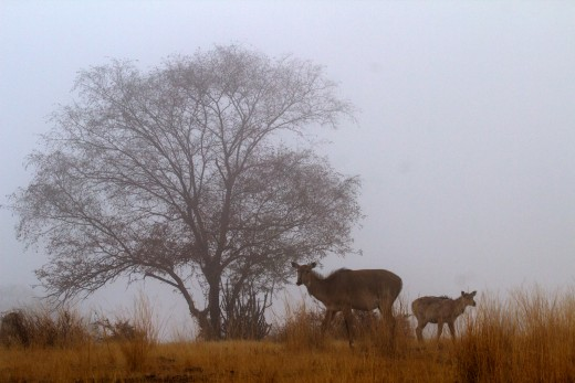 Nilgai - female and a calf - on a misty morning