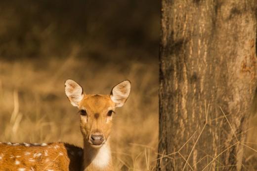 Calf of Spotted deer