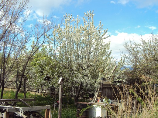 The cherry blossoms will endure for awhile to let the busy bees get around to them.  The apricot trees to the left have already dropped their blossoms.