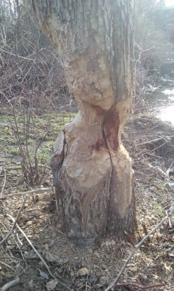 Do you know what might have damaged this apple tree?
