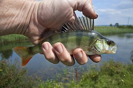 Coarse Perch, a common fresh water fish.