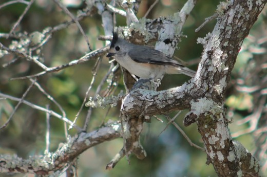 Black-crested Titmouse of the Rio Grande Valley and western half of the state.