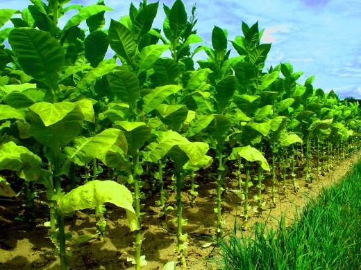A field of growing tobacco plants (source: Pixabay.com)