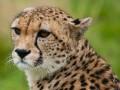 Racing Cheetahs