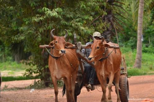 Bullocks have right of way