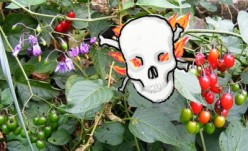 Poisonous Plants: Chinese Lantern, Deadly Nightshade, Castor Oil Plant