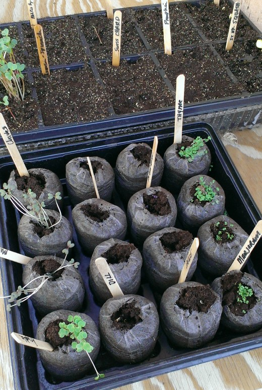 Seedling trays are a valuable tool for starting healthy, strong plants. The peat pot allows the delicate seedling to grow to its transplant potential and can be closely monitored for any issues that may arise.