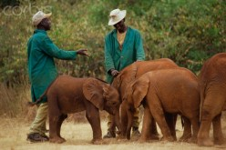 The little elephant, an orphan, is introduced to other elephants to get it used to being in a group.