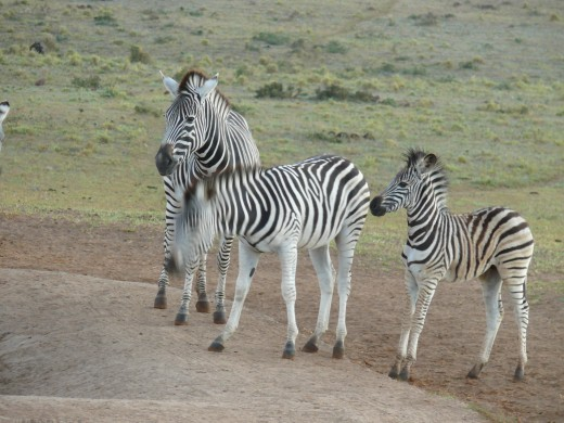 Zebra were the first to arrive at the waterhole