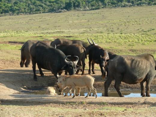 The Buffalo herd took control