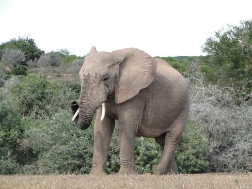 Elephant at waterhole at main camp