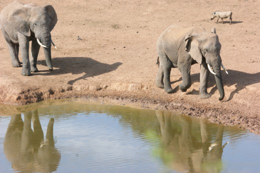 Thirsty Elephant at Domkrag Dam