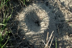 Overhead view of a fire ant mound.