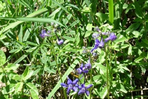 Poisonous Larkspur... Avoid using any of this delphinium family in your garden if you have livestock (including dogs and cats ) or a nervous spouse!
