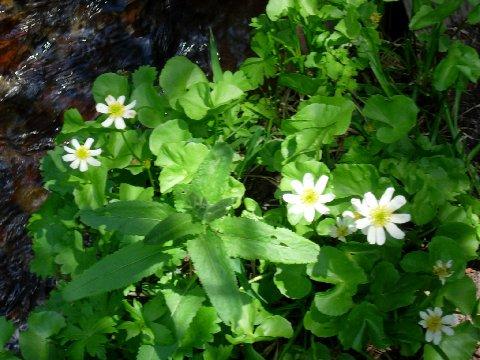 Marsh Marigolds like Wetland