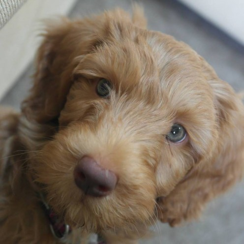 10 week old Labradoodle
