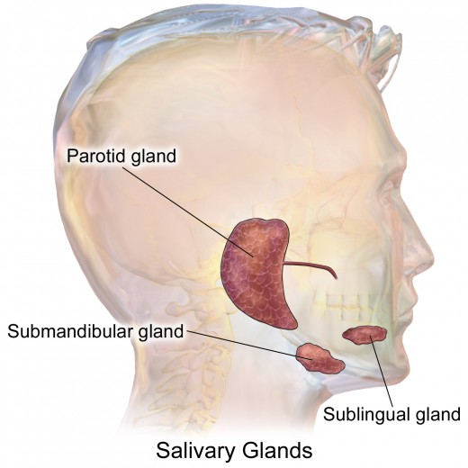 Location of the major salivary glands.
