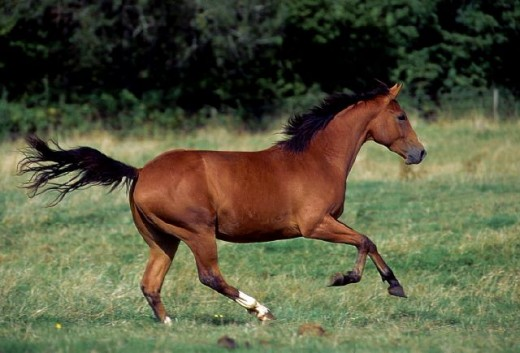 quarter horses running free