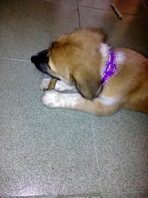 Fifth Month--chews her chew bone like a boss.