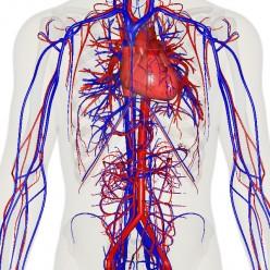 The Human Circulatory System
