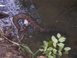 Notice the white open mouth of the cottonmouth?