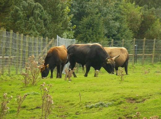Cattle in a Zoo.