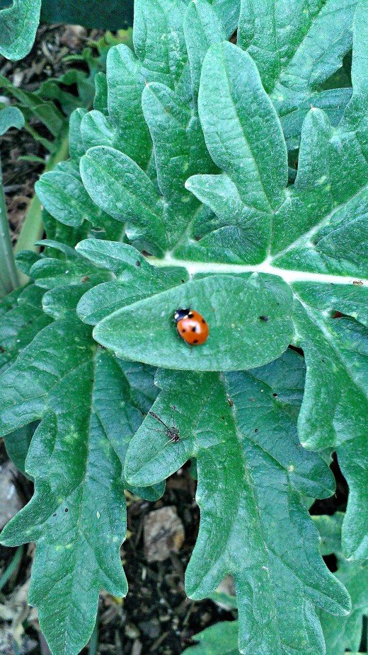 Ladybugs are the earliest of the garden warriors to appear in a healthy garden. They eat up unwanted pests.