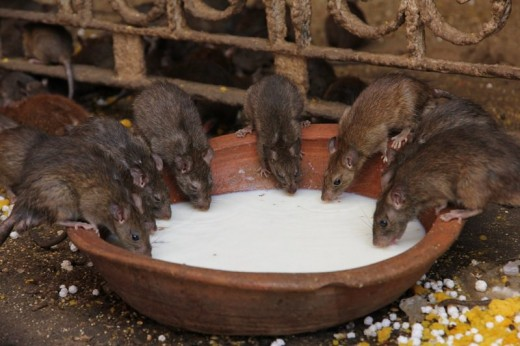 Rats at the Karni Mata Temple