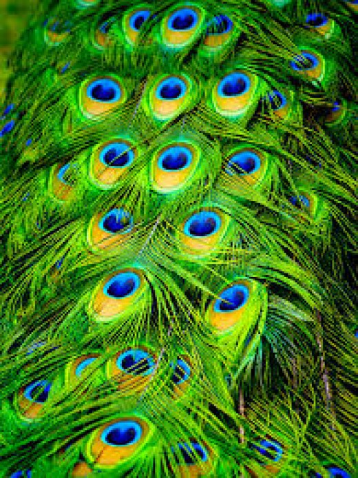 The beautiful Peacock Feathers!