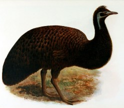 The Extinct King Island Emu and the Dodo Bird