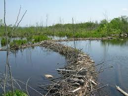 A substantial dam built by beaver power