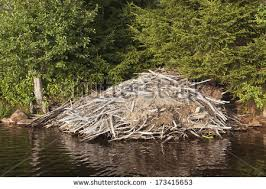 A large lodge may contain up to 20 beavers