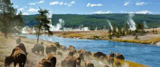 Herd of Bison along the Firehole River