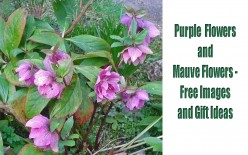 Purple Flowers and Mauve Flowers - Free Images and Gift Ideas