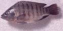 Mozambique tilapia fish