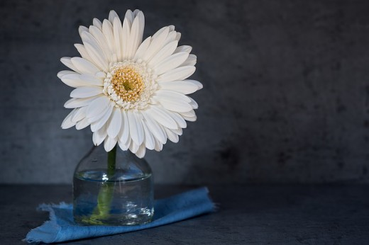 This is a Gerbera daisy, however, any white daisy will dye very well.