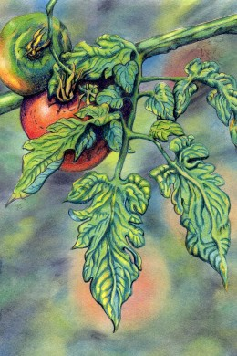 This color pencil drawing I did of tomatoes in my garden in Nashville shows the passion I have for recreating because that is my nature but nature is God's art.