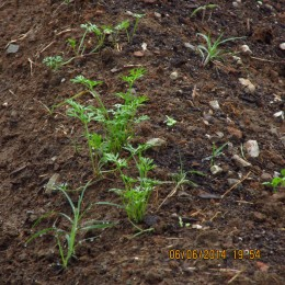 This is what the leafy part of some carrots look like as they spring into life.