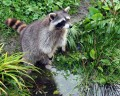 How to Evict Raccoons Safely and Humanely