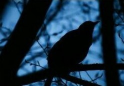 """Blackbird singing in the dead of night..."""