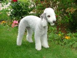 Amazing Terrier Dog Breeds