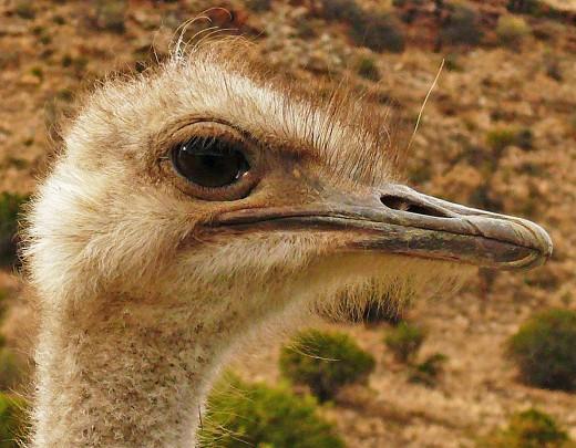 The biggest Bird-an Ostrich