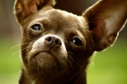 75 Unique Names for Chihuahuas
