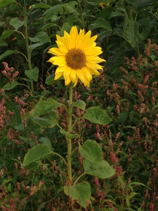 A stand alone sunflower